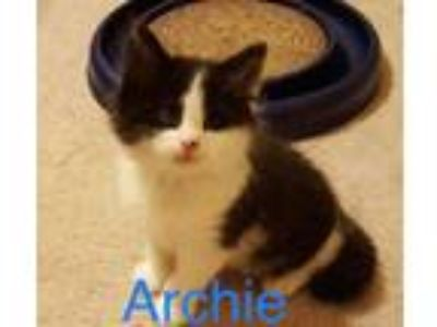 Adopt Archie a Domestic Long Hair