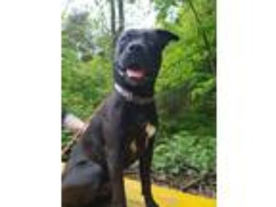 Adopt Thor a Black - with White American Staffordshire Terrier / Mixed dog in