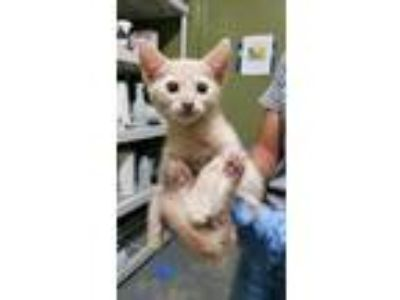 Adopt Krista a Cream or Ivory Domestic Shorthair / Domestic Shorthair / Mixed