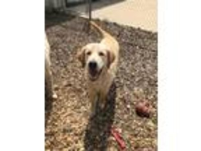 Adopt Bentley a Red/Golden/Orange/Chestnut Golden Retriever / Mixed dog in