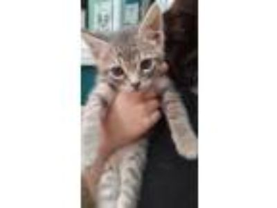 Adopt Riley a Gray, Blue or Silver Tabby Domestic Mediumhair (medium coat) cat