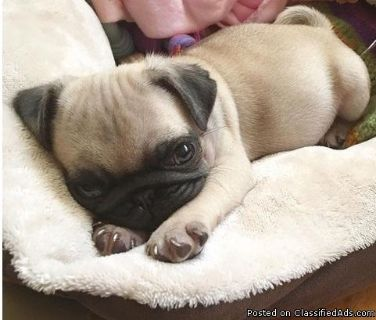 Ckc Registered Fawn Male Pug Puppies