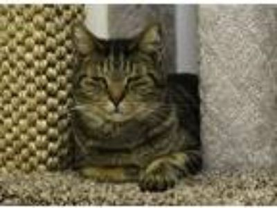 Adopt Carl a Gray, Blue or Silver Tabby Domestic Shorthair (short coat) cat in