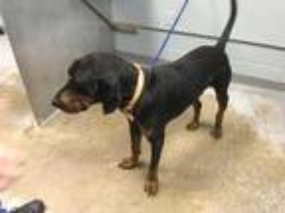 Adopt Buster a Black Hound (Unknown Type) / Mixed dog in Greenville