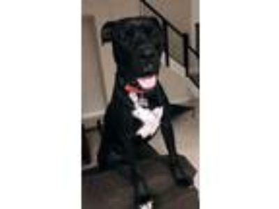 Adopt Dubby a Black - with White Labrador Retriever / Great Dane dog in Pembroke