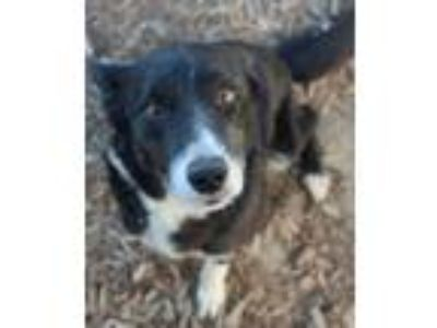 Adopt Harry a Border Collie