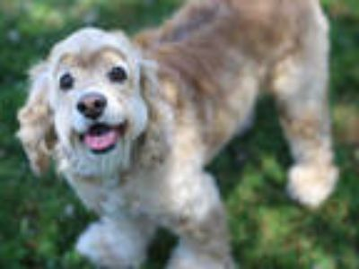 Adopt #SPARTA a Tan/Yellow/Fawn Cocker Spaniel / Mixed dog in San Jose