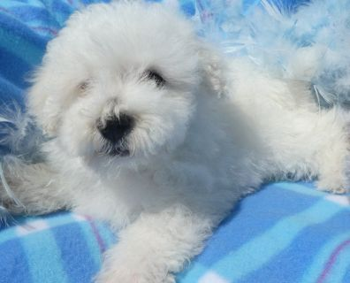 Maltese/Bichons Holistically Raised
