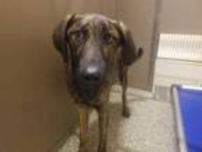 Adopt BUD a Brindle Plott Hound / Belgian Malinois / Mixed dog in Clyde