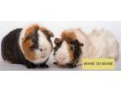 Adopt Hubert a Brown or Chocolate Guinea Pig / Mixed small animal in Chicago