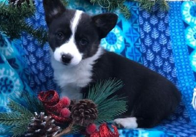 fodsi Registered Current vaccinations Pembroke Welsh Corgi Puppies for Sale