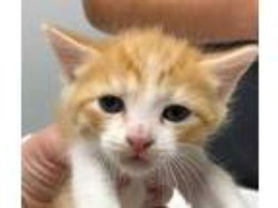 Adopt Ring a Orange or Red Domestic Shorthair / Domestic Shorthair / Mixed cat