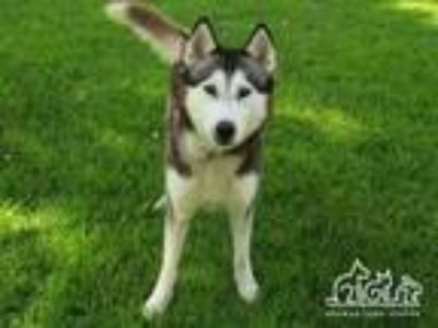 Adopt ADMIRAL a Siberian Husky, Mixed Breed