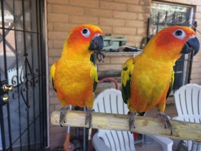 Two beautiful young Sun Conures (pair) - New parrot cage also available.