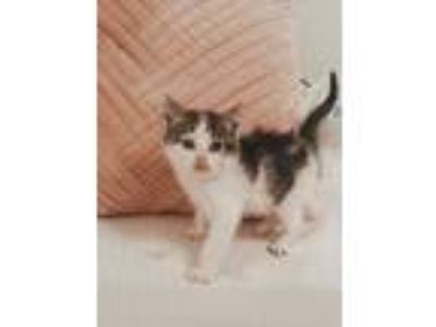 Adopt Bindi a Black & White or Tuxedo Domestic Shorthair (short coat) cat in