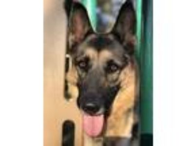 Adopt Apple a German Shepherd Dog