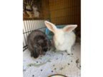 Adopt Ontario a Bunny Rabbit