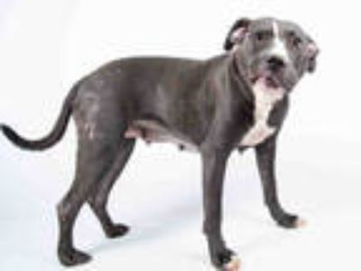 Adopt ELLA a Gray/Silver/Salt & Pepper - with White American Pit Bull Terrier /