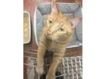 Adopt Leo a Orange or Red Domestic Shorthair / Domestic Shorthair / Mixed cat in
