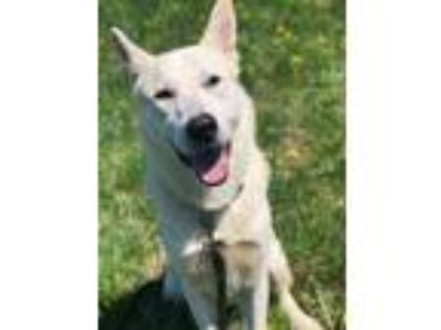 Adopt Ghost a White Husky / Shepherd (Unknown Type) / Mixed dog in Wellsville