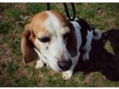 Adopt Betsy a Tricolor (Tan/Brown & Black & White) Beagle / Mixed dog in Thorp