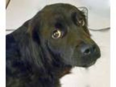 Adopt Henry II a Black - with White Flat-Coated Retriever / Mixed dog in