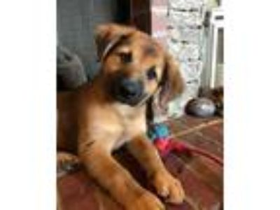 Adopt Godiva a Brown/Chocolate - with Black German Shepherd Dog / Mixed dog in