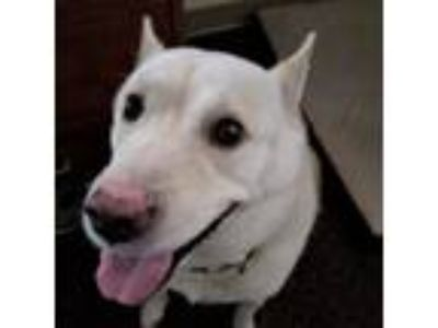 Adopt Dexter a White - with Brown or Chocolate Husky / Labrador Retriever dog in
