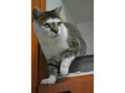 Adopt Scampy a Brown or Chocolate Domestic Shorthair / Domestic Shorthair /