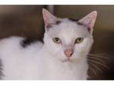 Adopt Seven a White (Mostly) American Shorthair / Mixed (short coat) cat in