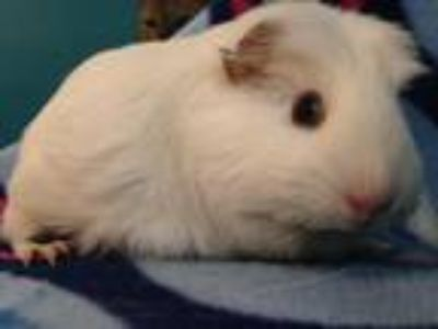 Adopt Cotton ball (Spayed) a White Guinea Pig small animal in Sunrise