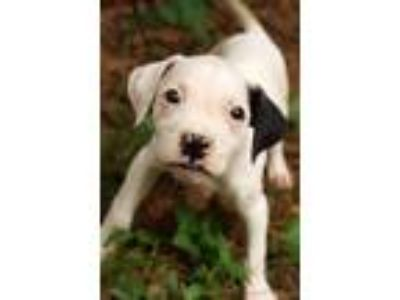 Adopt Linzi a White - with Black Boxer / Pointer / Mixed dog in Newark