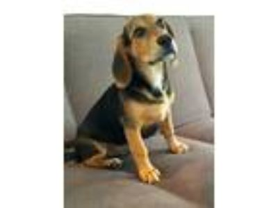 Adopt Hudson a Black - with Tan, Yellow or Fawn Beagle / Mixed dog in