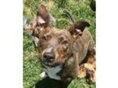 Adopt Lolly a Brindle - with White Pit Bull Terrier / Mixed dog in Detroit