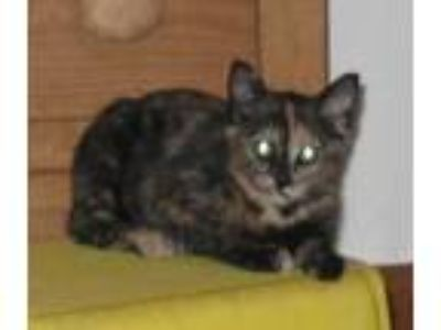 Adopt Molly a Tortoiseshell Domestic Mediumhair / Mixed (medium coat) cat in