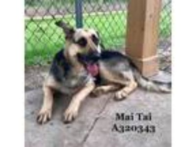 Adopt a Brown/Chocolate - with Black German Shepherd Dog / Mixed dog in Conroe