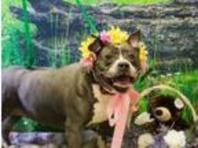 Adopt Bella a Pit Bull Terrier, Mixed Breed