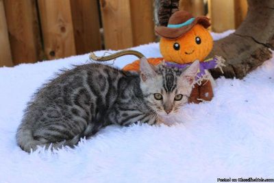 Stunning top quality Silver rosetted Bengal girl available!