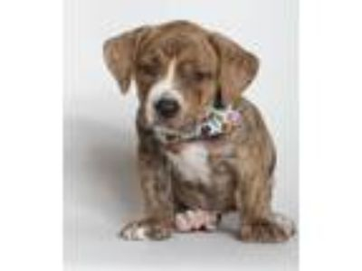 Adopt Bowery a Brindle Boxer / Dachshund / Mixed dog in Baton Rouge