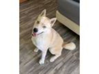 Adopt Rebel a Siberian Husky, Yellow Labrador Retriever