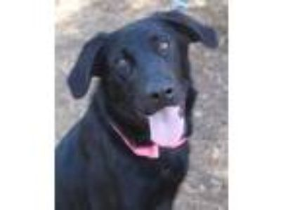 Adopt Evelyn a Labrador Retriever