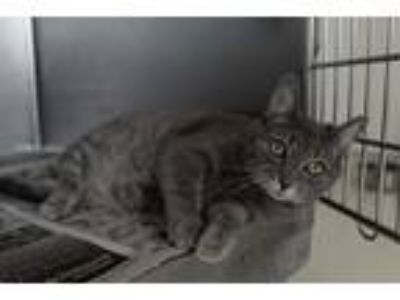 Adopt Gracie a Gray or Blue (Mostly) Domestic Shorthair (short coat) cat in
