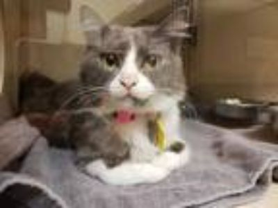 Adopt KIKI a Gray or Blue (Mostly) Domestic Mediumhair / Mixed (medium coat) cat