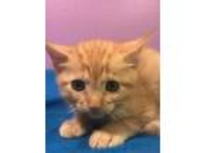 Adopt Ruby a Orange or Red Domestic Shorthair / Domestic Shorthair / Mixed cat