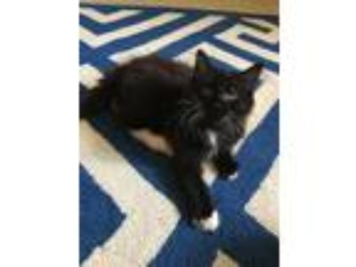 Adopt Zazzy19 a Domestic Mediumhair / Mixed (short coat) cat in Youngsville