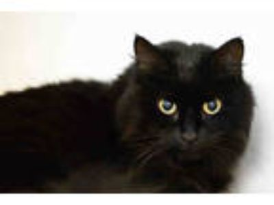 Adopt DONNIE a All Black Domestic Longhair / Mixed (long coat) cat in West Palm
