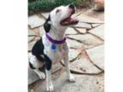 Adopt Winnie a White - with Tan, Yellow or Fawn American Pit Bull Terrier dog in
