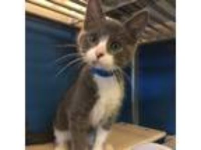 Adopt Adobo a Gray or Blue Domestic Shorthair / Domestic Shorthair / Mixed cat