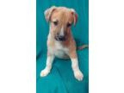 Adopt Laffy Taffy JN a Red/Golden/Orange/Chestnut Labrador Retriever / American