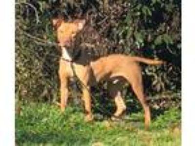 Adopt Apollo a Tan/Yellow/Fawn American Pit Bull Terrier / Boxer dog in